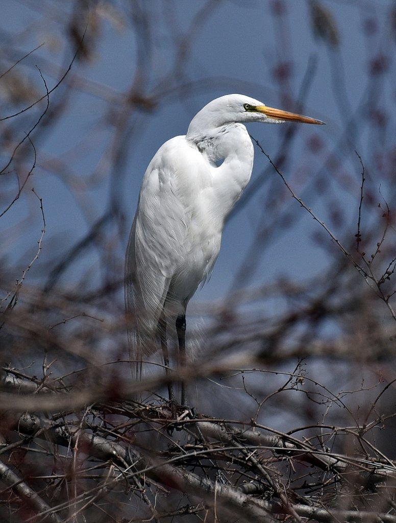White-Egret-4092-copy.jpg