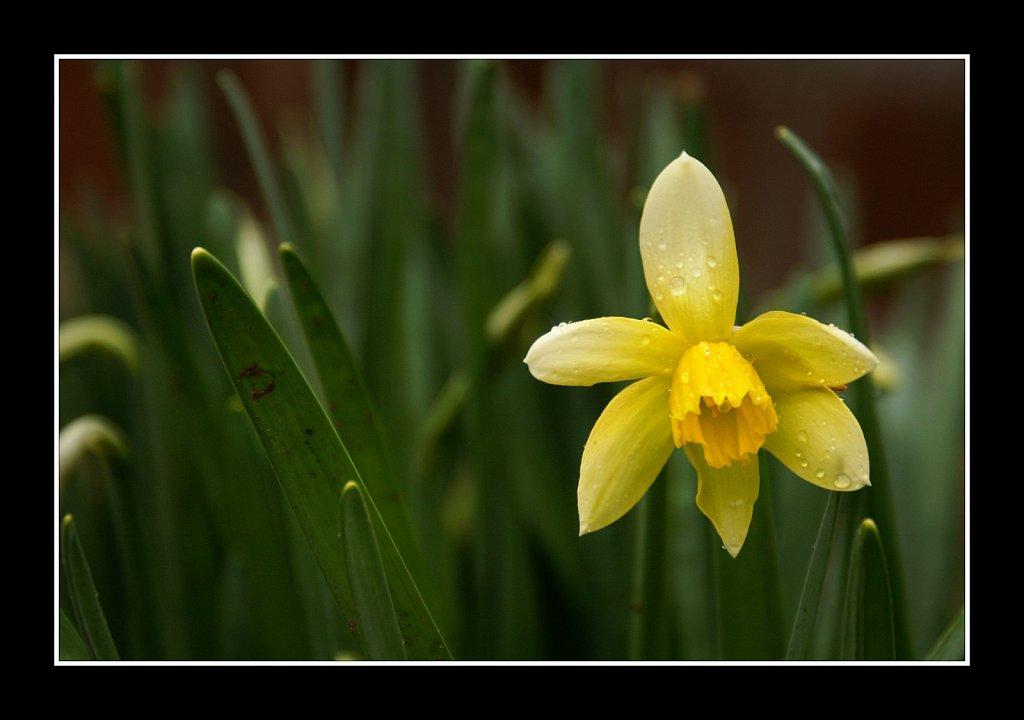 Daffodil In the Rain