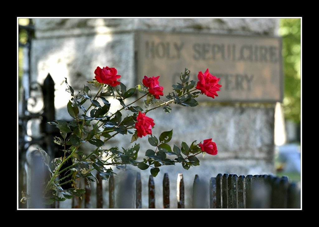 Cemetary Roses