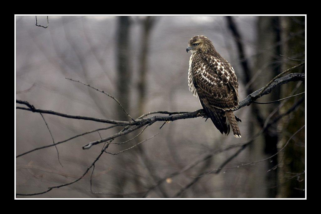 Red Tali Hawk