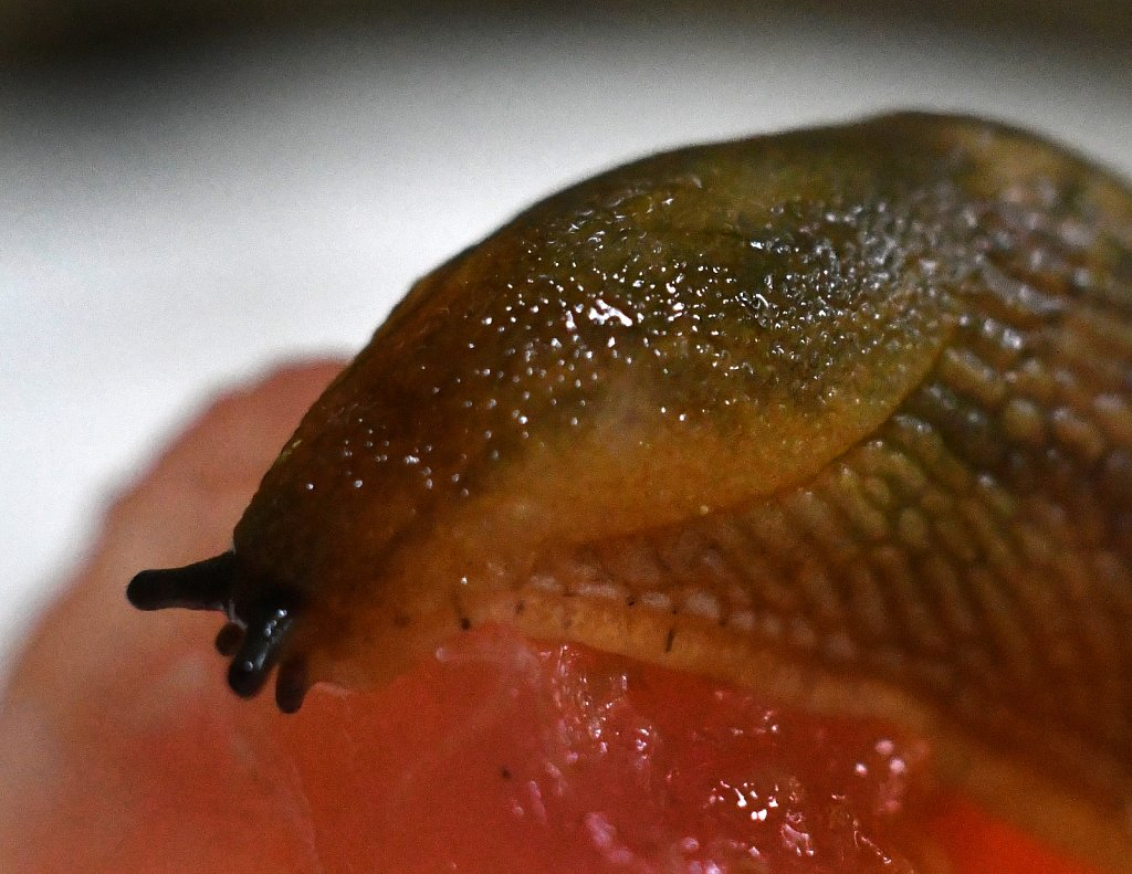 Snail-eating-Watermelon-4328.JPG