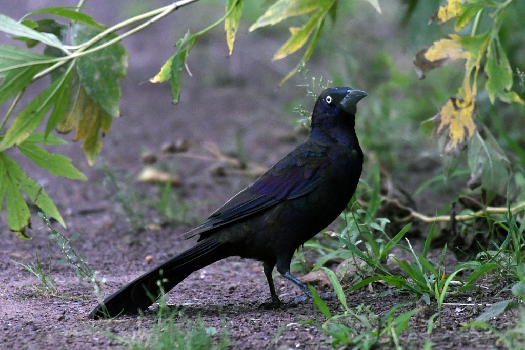 Common-Grackle4515.JPG