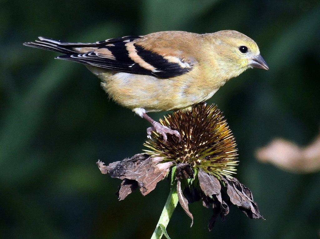 Goldfinch-Female-4632.JPG