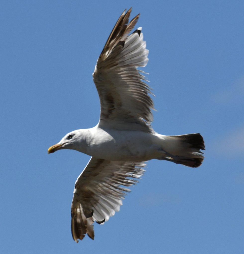 Herring-Gull-4337.JPG