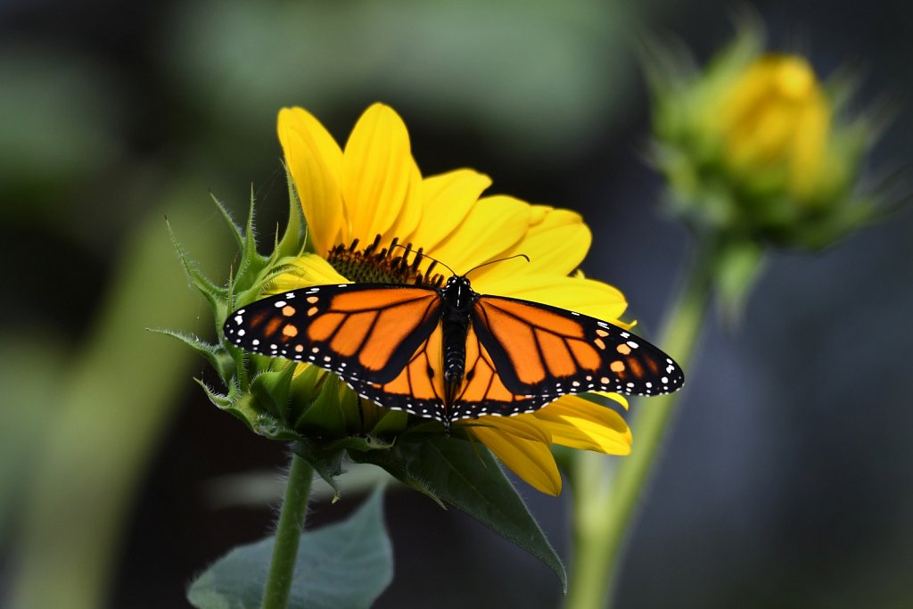 Monark-on-sun-flower-4640.JPG