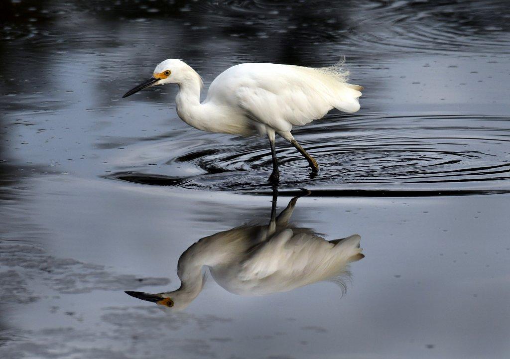 Snowy-Egret-4601.JPG