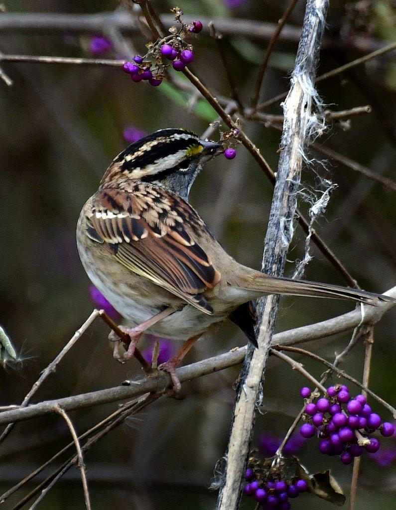 RG8-8377-Savannah-Sparrow.jpg
