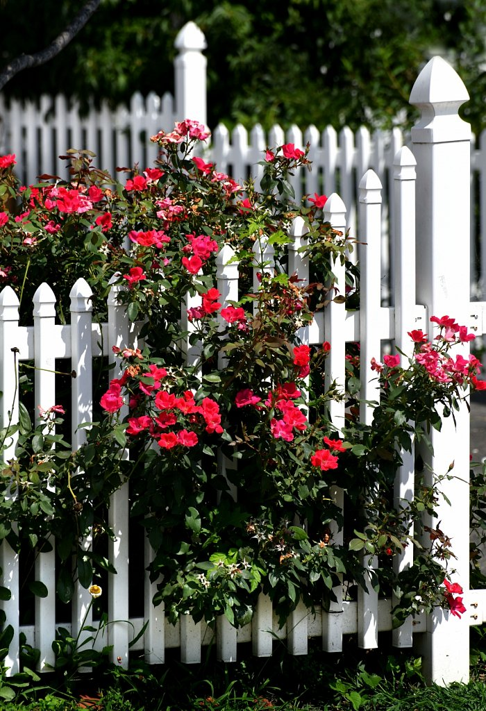 White-Fence-Roses-3-2256-copy.jpg