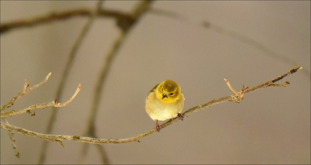 American Goldfinch (winter color)